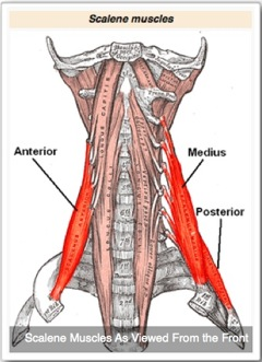 Scalene Anatomy Front