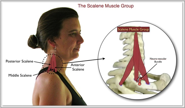 Image of the Scalene Muscles
